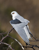 White-tailed Kite, wing spread