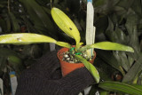 Cattleya warneri - all leaves damage by fungal problem- treatment continuing IMG10628