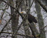 1-10-08  Then the eagle set in a tree for 1/2 hr and left