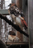 Red Tailed Hawks Perching & Posing