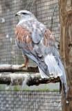 Ferruquinous Hawk