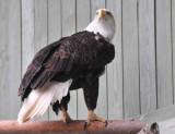 America's Bird of Prey