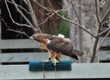 Hawk's Play Time
