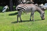 Stork Bringing Baby Zebra?