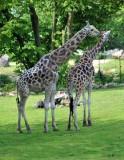 Giraffe Mom & Dad
