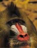Monkey Snout
