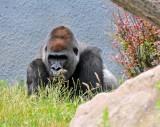 Gorillas!!!