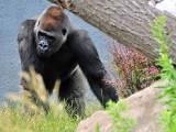 Great Gorialla
