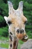 Whoa.  Giraffe Close By