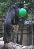 Jaguar with his Ball