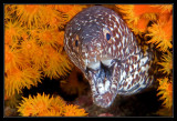 Spotted Moray Eel and Orange Cup Coral
