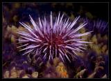 Purple Urchin and some feather worms