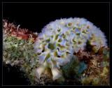 Lettuce Sea Slug