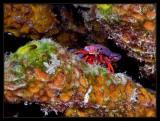 Red Reef Hermit Crab, Paguristes cadenati