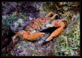Reef Crab