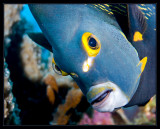 French Angelfish on the lens