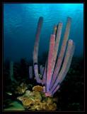 Purple Tube Anemone