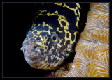 My lips are sealed (Chain Moray)