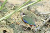 PASSERIFORMES: Pittidae