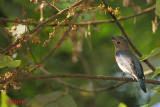 Blue-and-white Flycatcher (Cyanoptila cyanomelana)