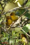 Golden Babbler (Stachyridopsis chrysaea)