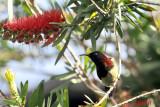 Black-throated Sunbird (Aethopyga saturata)