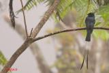 Lesser Racket-tailed Drongo (Dicrurus remifer)