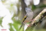 White-browed Shrike-babbler (Pteruthius flaviscapis)