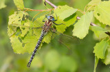 Hairy Dragonfly / Glassnijder