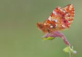 Cranberry Fritillary / Veenbesparelmoervlinder