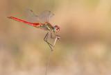 Red-veined darter / Zwervende heidelibel