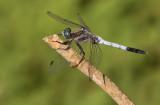 White-Tailed Skimmer / Witpuntoeverlibel