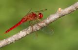 Scarlet darter / Vuurlibel