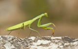 Mantises and Cockroaches / Bidsprinkhanen en Kakkerlakken