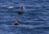 Short-tailed Albatross with Black-footed Albatross