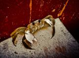 Entrapped crab, El Dorado Resort, Riviera Maya, Mexico