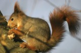 red_squirrel