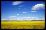 On Way to Banff -Mustard Field