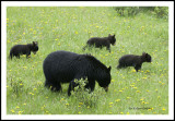 Black bear with three Cubs