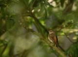 Common Redstart (Rödstjärt)
