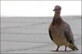 pigeon in the shadow_1030283w.jpg