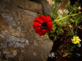 redflower_1050403w.jpg