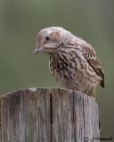 thrashers_catbirds