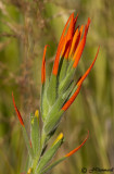 Paintbrush  castilleja species
