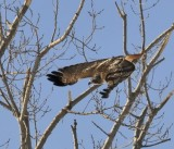 Redtail Escape