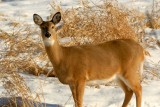 Gentle Eyes - Young Whitetail