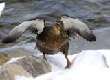 Snowy Wet Duck