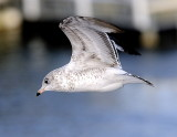 Baby Ring Billed Gull