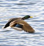 Mallard Flying By
