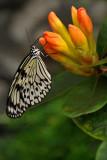 papillons__butterflies